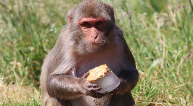 Rhesus Monkey with Ice Lolly | Credit: Longleat