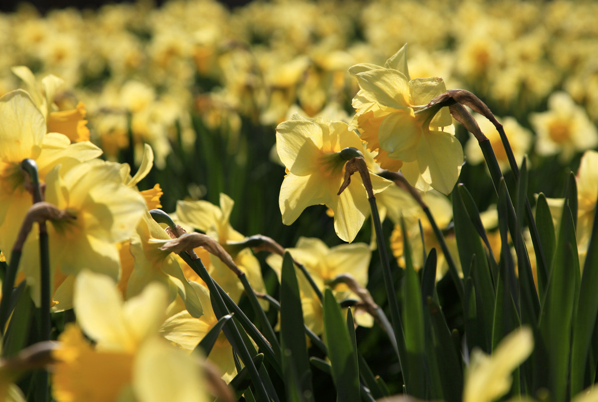 A host of yellow daffodils