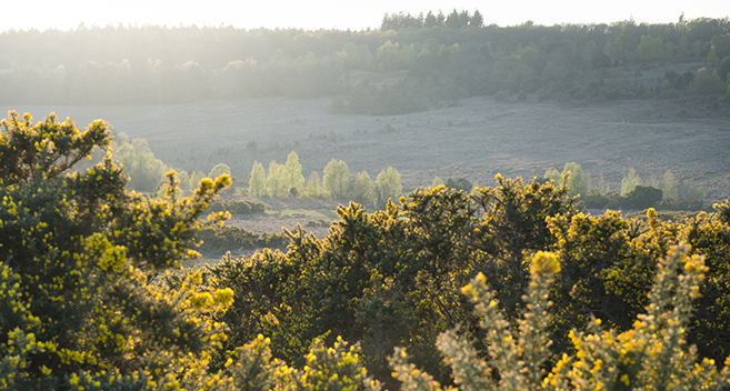 Gorse, New Forest National Park