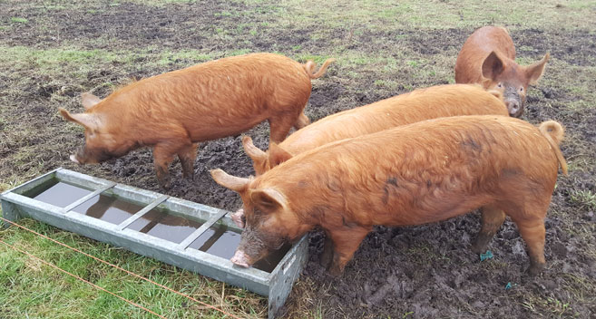 Pigs at Buttle Farm