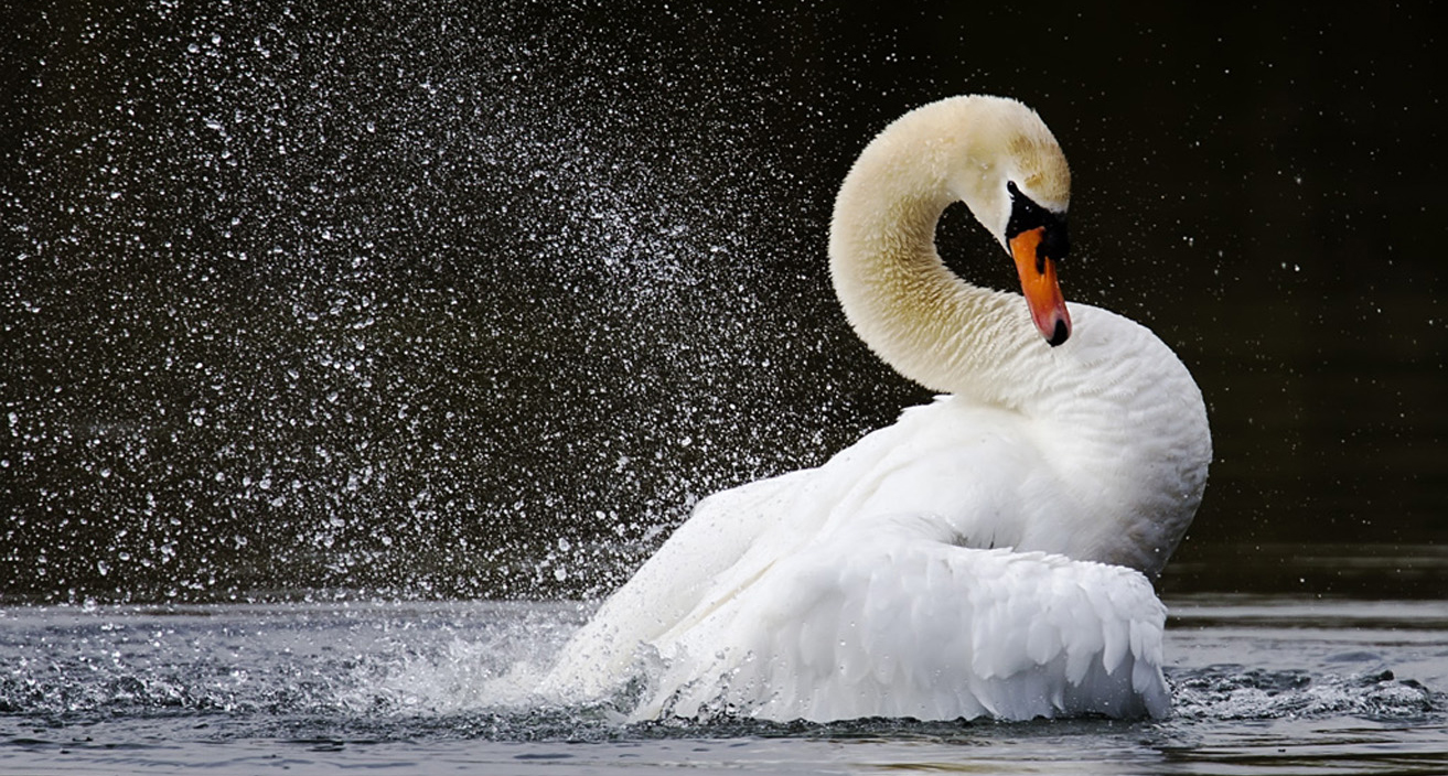 Swan at Langford Lakes