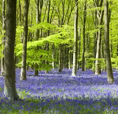 Bluebells, West Woods