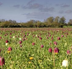 Fritillaries in Cricklade
