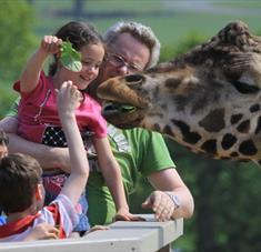 Giraffe feeding at Longleat