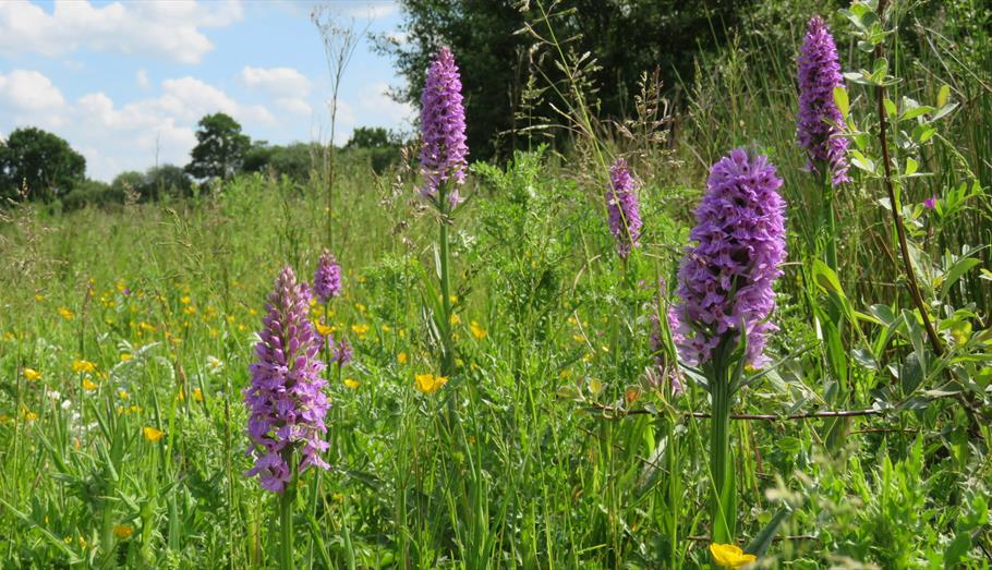 Orchids at Penn Wood - copyright Sonia Hill