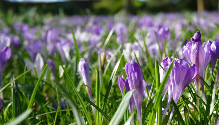 Spring flowers and family trail at Lacock Abbey