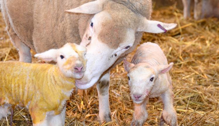 Lambing Time at Roves Farm