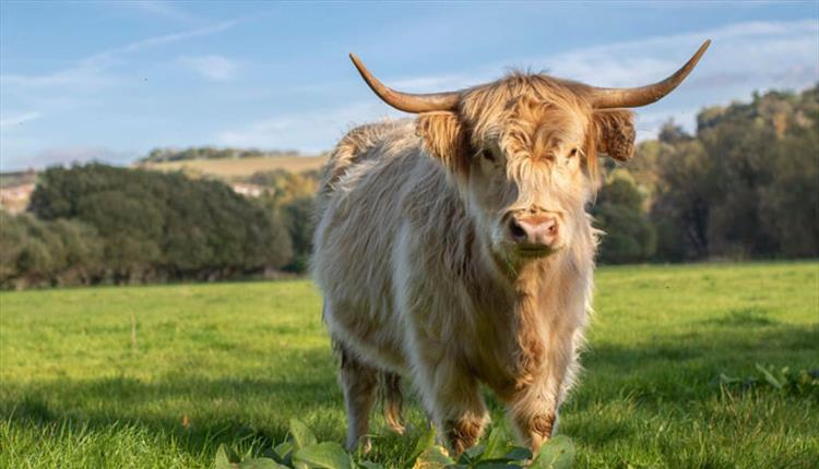 River Bourne Community Farm - Highland Cow
