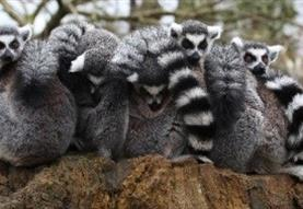 Lemur Week