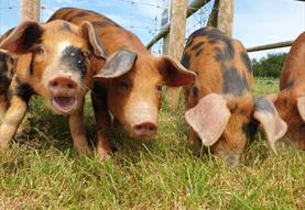 Cholderton Rare Breeds Farm - Pigs